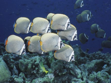 School of Collared Butterflyfish, Thailand